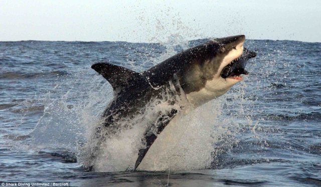 Great White shark takes to the air to capture its prey 3